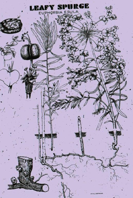 Leafy Spruge