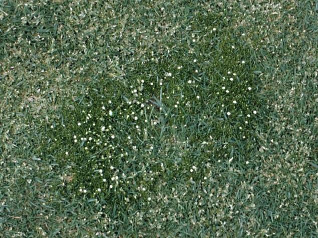 Birdseye Pearlwort