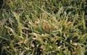 Common Velvetgrass