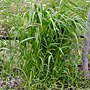 Giant Foxtail