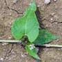 wild buckwheat leaf