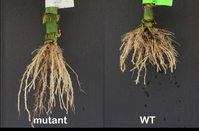 deep genes contrasting root crowns