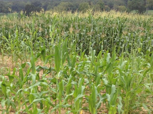 Low nitrogen maize in field versus high
