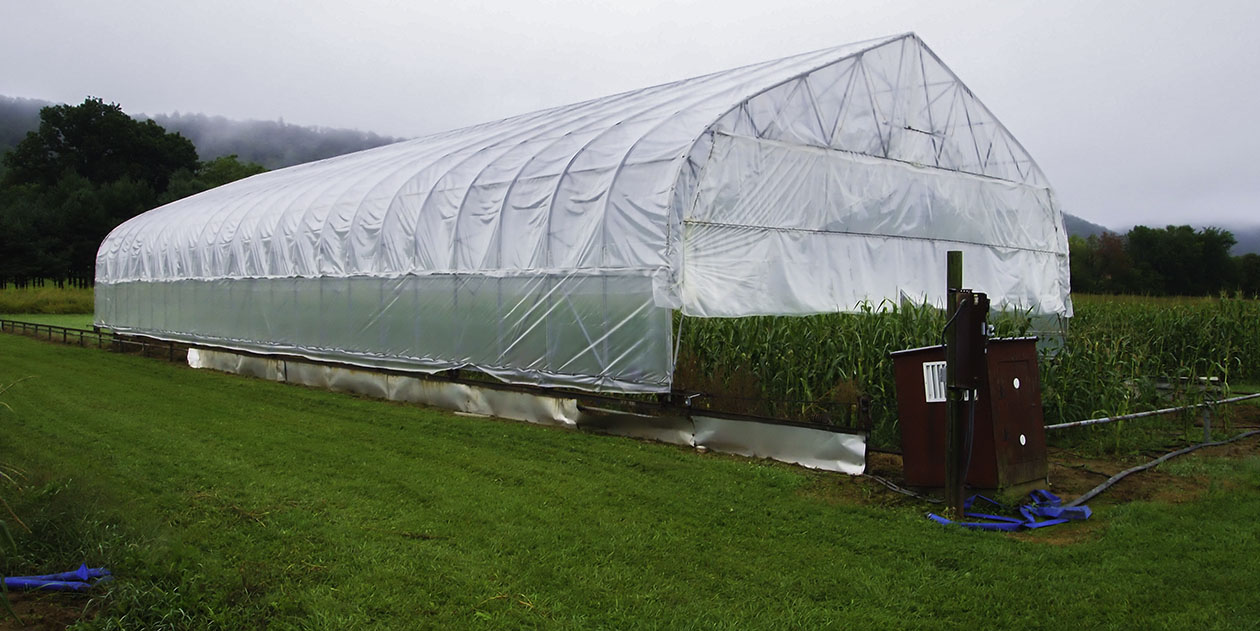 Rainout shelter with maize