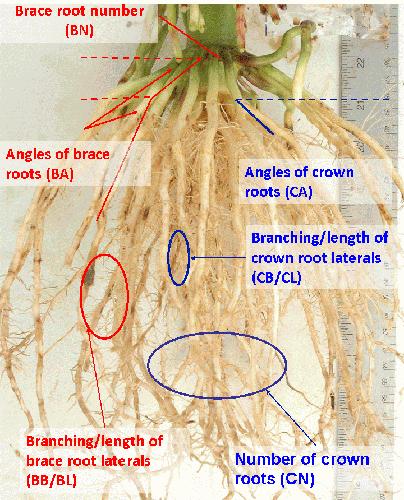 Scoring root crowns