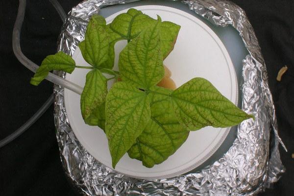 Interveinal chlorosis of the older leaves