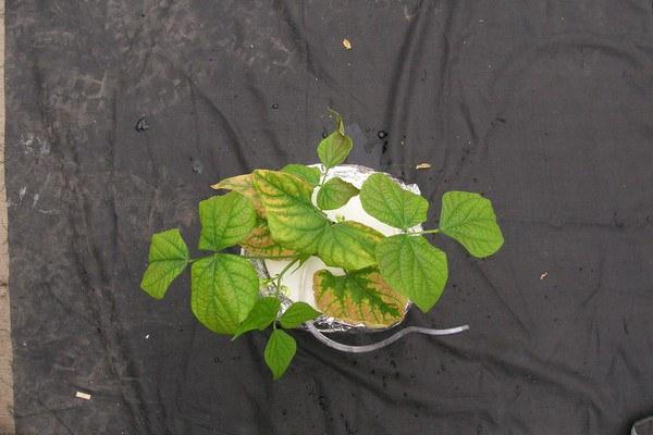 Blotchy chlorosis of older leaves
