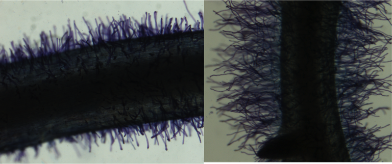 Short (left) and long (right) root hair phenotypes in common bean