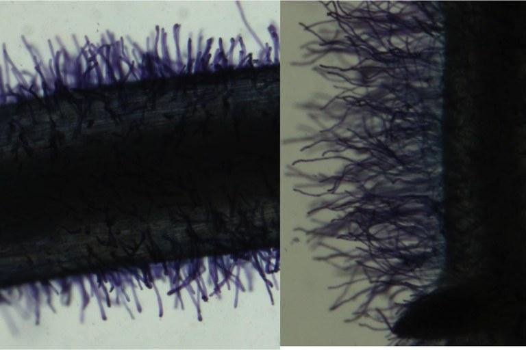 Fenotipos de pelos radicales cortos (izquierda) y largos (derecha)