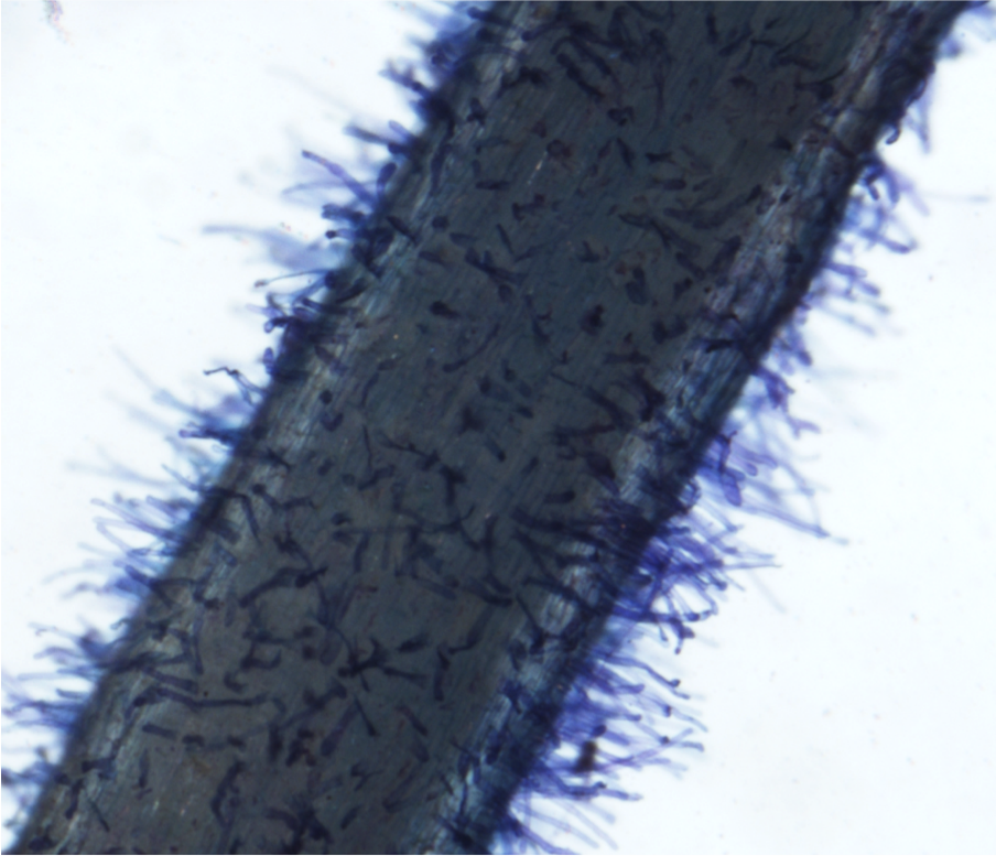 Focus microscope on top surface of root for measuring root hair density