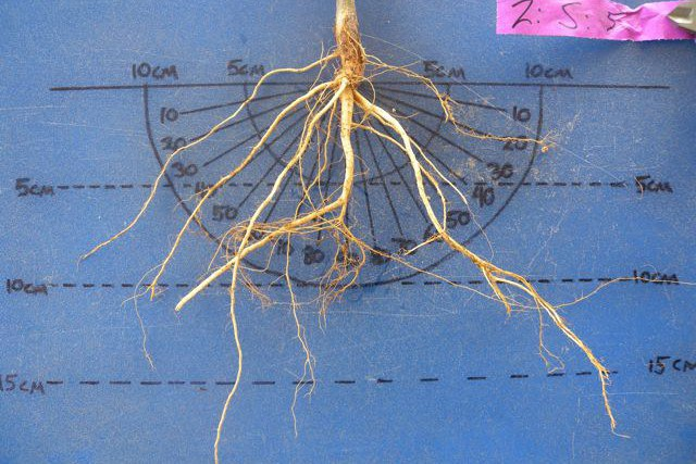 Common bean root system with steep basal roots that can tap deeper water