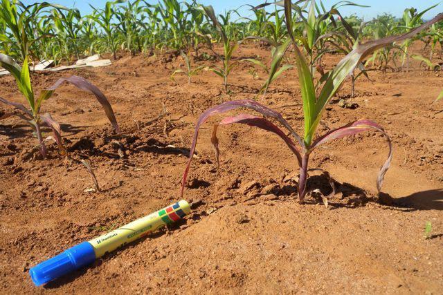 Maize plants exhibiting phosphorus stress