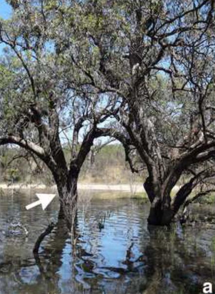Flooded black-box eucalyptus tree in Australia