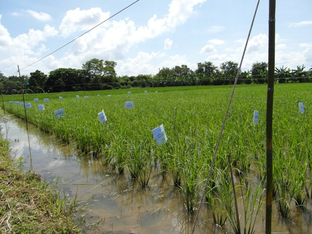 rice trials in Thailand led by Jonaliza Siangliw