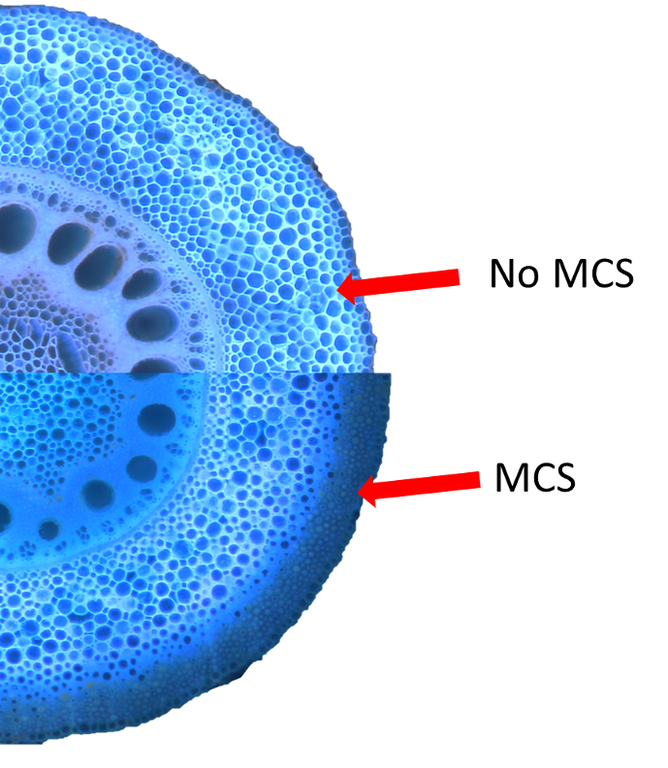 MCS in a maize root