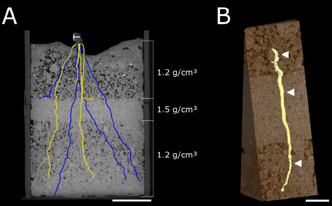 maize roots penetrating a hard soil layer visualized with X Ray CT