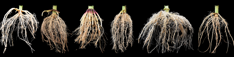 Maize root crowns excavated from the field showing phenotypic variation among genotypes