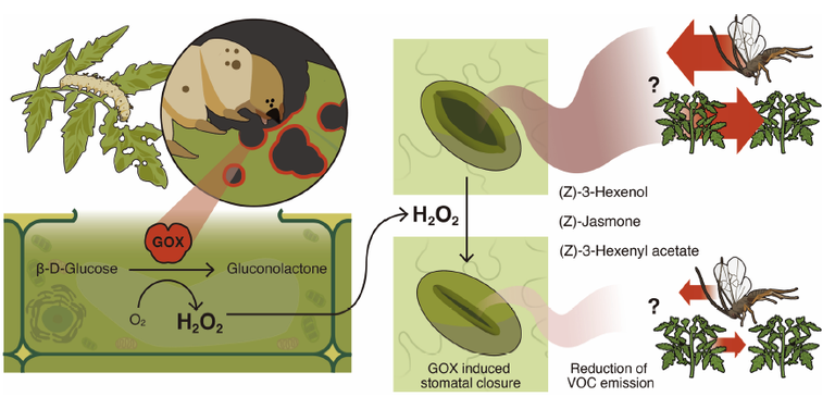 Graphical summary. Salivary glucose oxidase (GOX) of Helicoverpa zea larvae induces stomatal closure and inhibits emission of HIPVs involved in plant communications and defenses. The direct involvement of H2O2 is speculative.