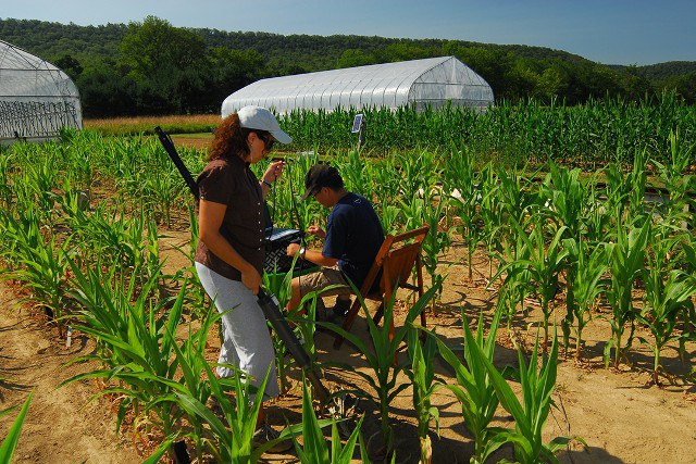 Measuring drought-stressed maize plants. Rainout shelters are moved off field during sunny periods.
