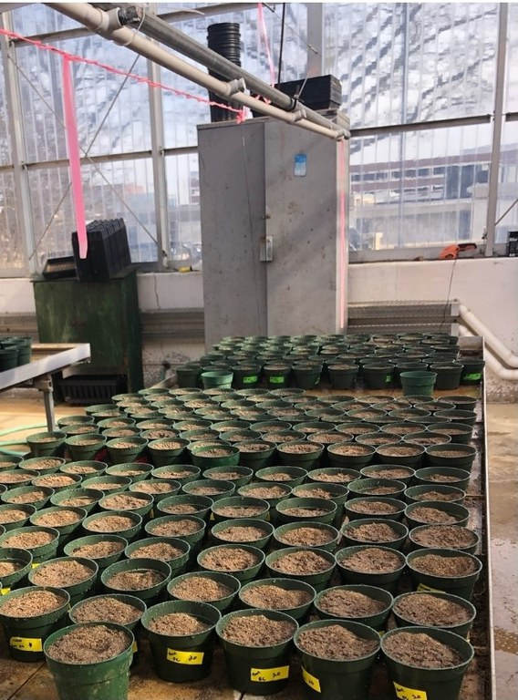 Seeding of grasses in the greenhouse