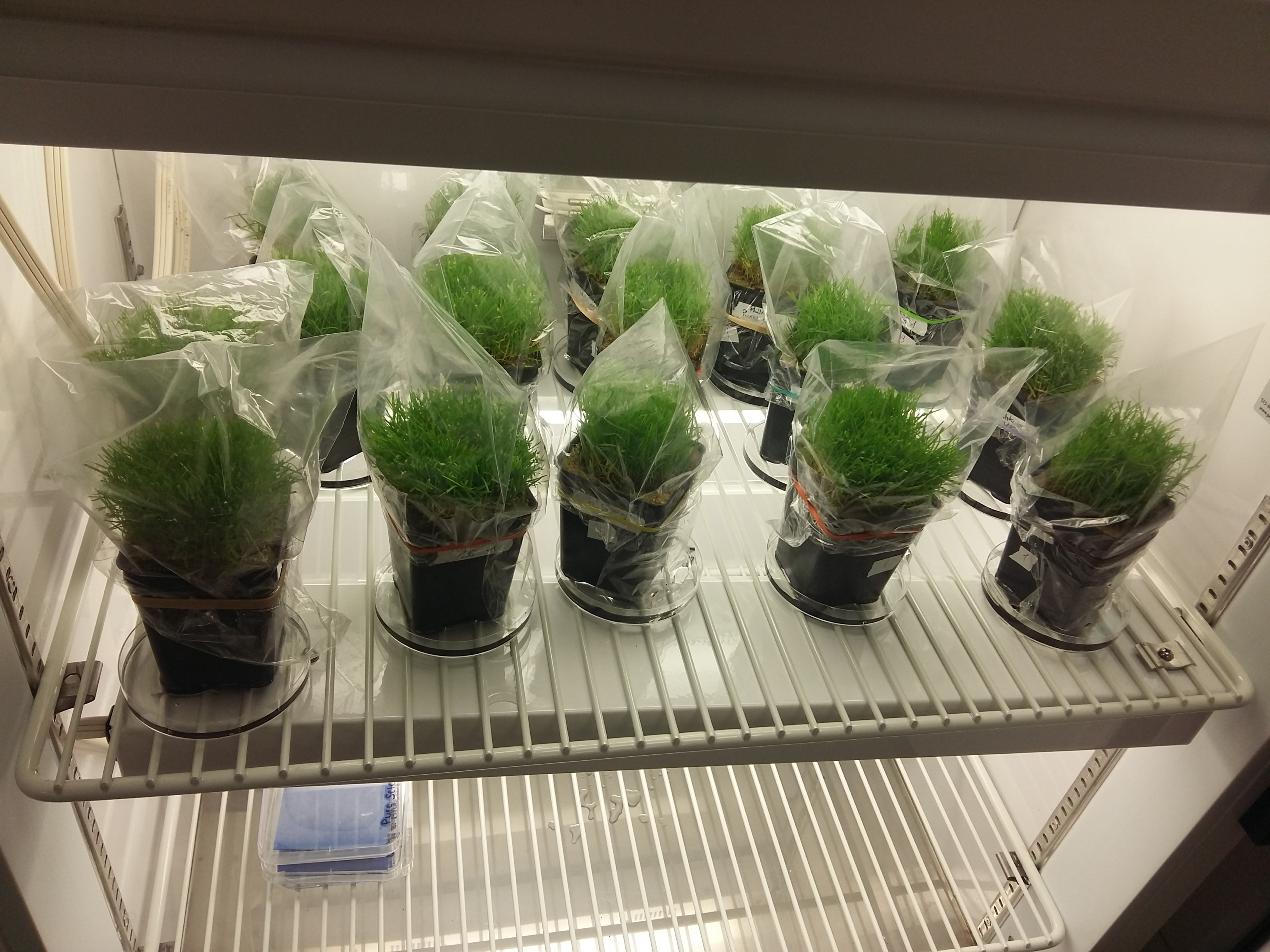 Inoculated plants in the growth chamber