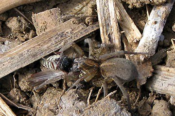 Wolf spider eating a cluck beetle