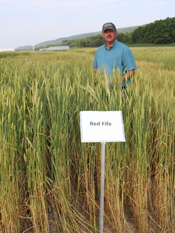 Red Fife: a classic hertiage wheat